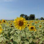 タイで有名な黄色一色のひまわり畑に行ってきましたよ。